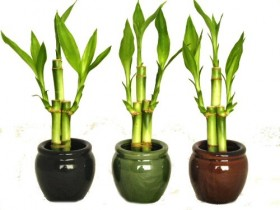 KL Design & Import – 3 Colors Bamboo Style Mini Ceramic Vases and total 9 Stalks of Lucky Bamboo